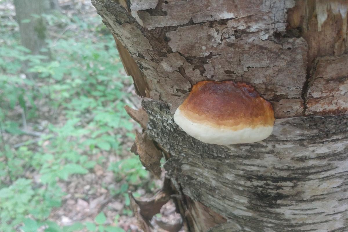 Tree Fungus Knowledge at Ironwood Arboricultural